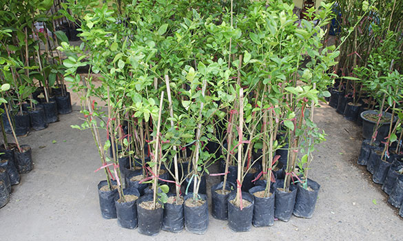 Nursery Container Trees